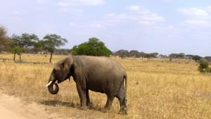 safari_elephant