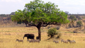 safari_elephantzebra