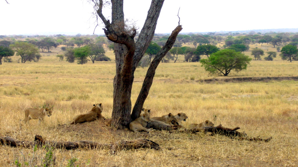 safari_lions