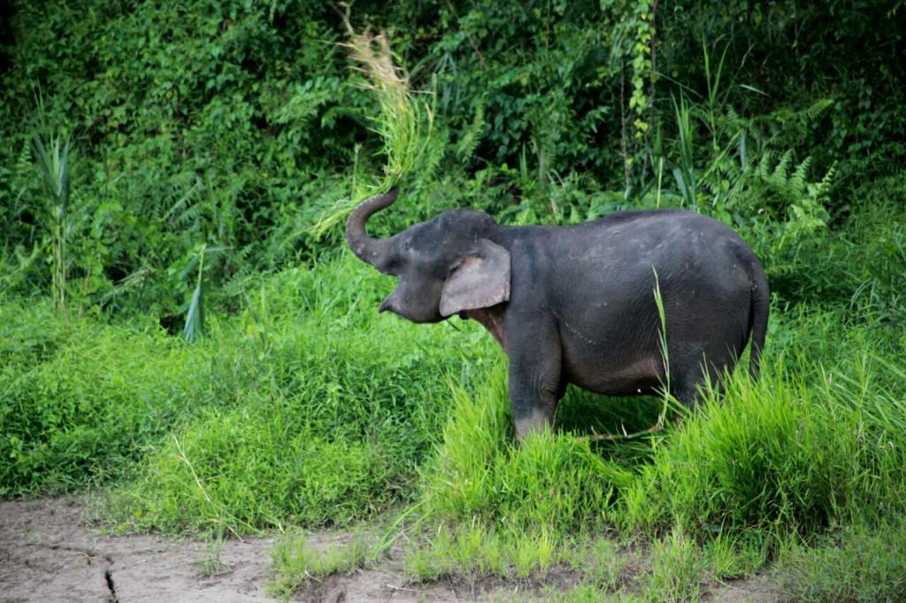 kinabatangan_elephant