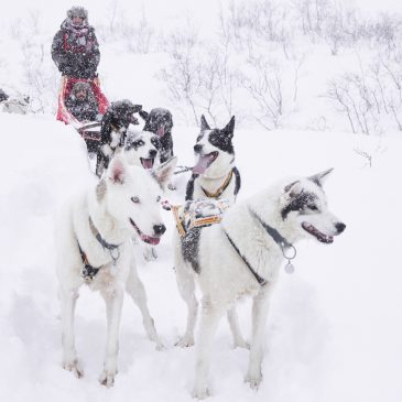 Hundeschlitten fahren in Tromsø