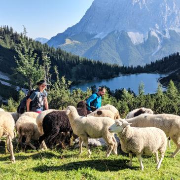 Schafe hirten am Fuße der Zugspitze